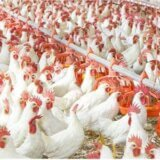 Where-you-can-find-the-healthiest-poultry-meat
